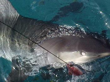 66046-shark 11.jpg